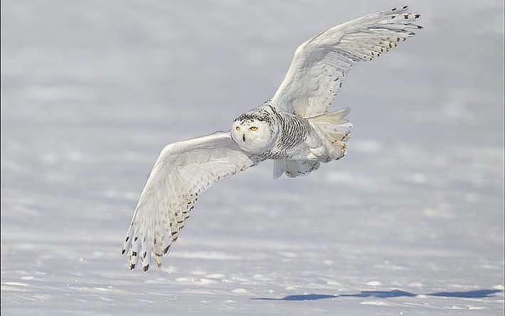 Полярная сова (www.onbird.ru).jpg