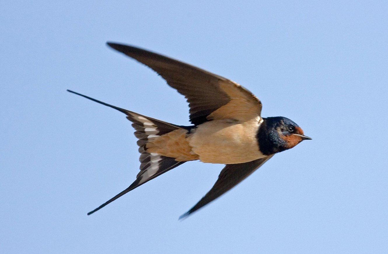 swallow_1330.jpg